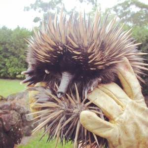 Roads are hazardous for echidnas, with many injured or killed by motor vehicles every year. Pictured here is an echidna rehabilitated by the Northern Rivers Wildlife Carers, after it was hit by a car.
