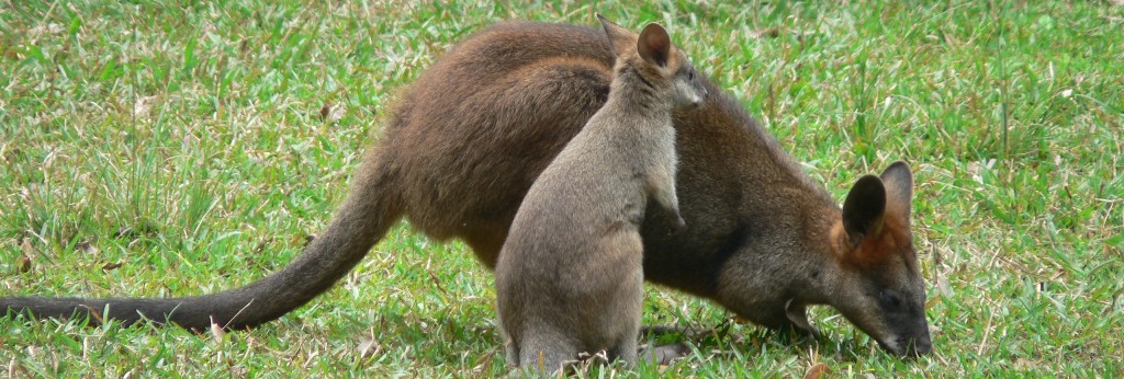 Swamp Wallaby & Joey