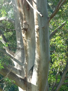 Tawny - sleep disturbance from the Currawong