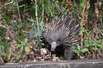 Facebook comes to the aid of injured echidna