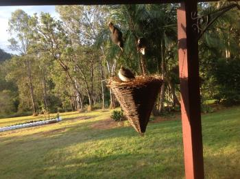 Noisy Miners to the Rescue