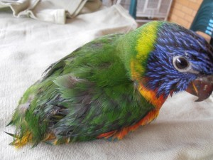 A young Rainbow Lorikeet recently rescued from East Ballina showing signs of Beak and Feather Disease.