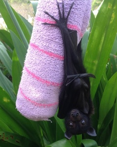 This two-week old Black Flying Fox was found alone in a tree after its mother died during her nightly flight.  It was rescued by the Northern Rivers Wildlife Carers.