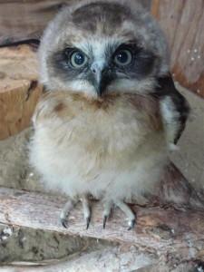 Boobook owlet