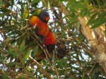 Lorikeets take advantage of recent flowering