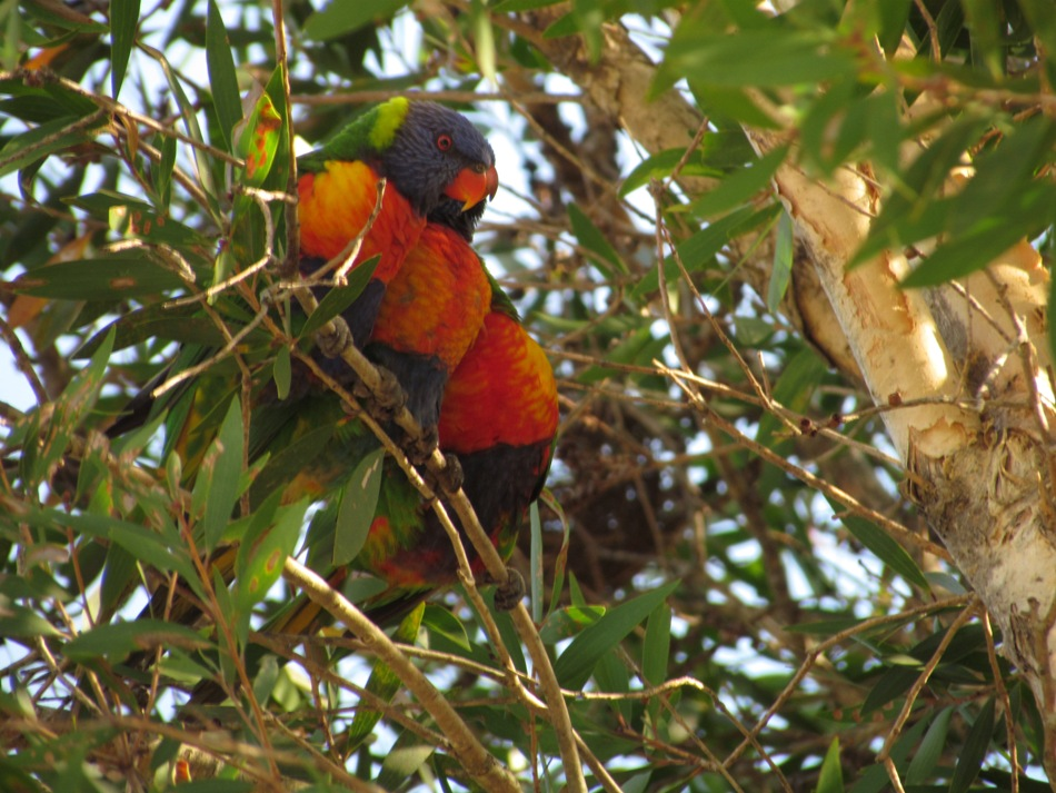 Lorikeets are a noisy, but enjoyable part of North Coast life. Many native trees are currently flowering, providing nectar and pollen for the local lorikeet population.