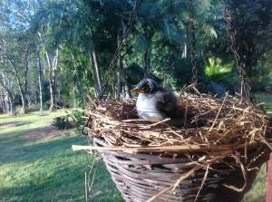 Noisy miner fledgling