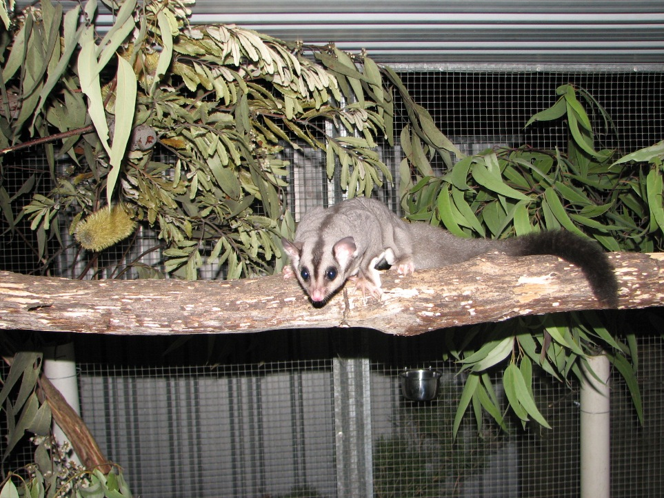 A Squirrel Glider rescued by the Northern Rivers Wildlife Carers after being attacked by a roaming pet cat.  Squirrel Gliders are a threatened species found regularly in the Northern Rivers