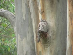 Tawny on tree